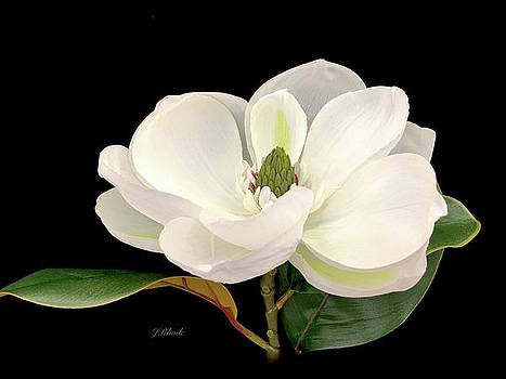 White Magnolia Grand Floral by Jeannie Rhode Photography