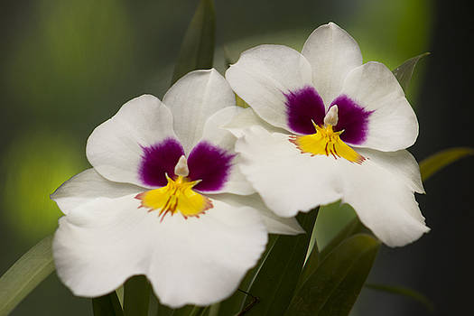 White Miltonia Orchid by Mark Michel