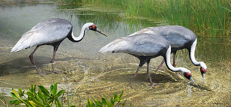 White Naped Cranes Forage by R christopher Vest