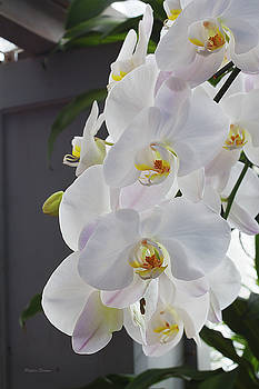 White Orchid Cascade by Phyllis Denton