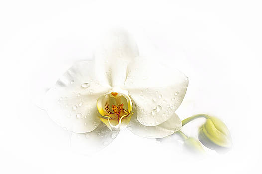 White Orchid by John Fotheringham