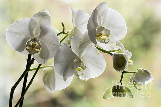 White Orchid by Kathryn Bell
