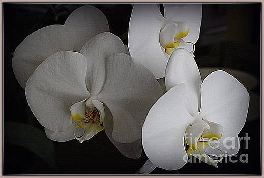 White Orchids by Photographic Art and Design by Dora Sofia Caputo