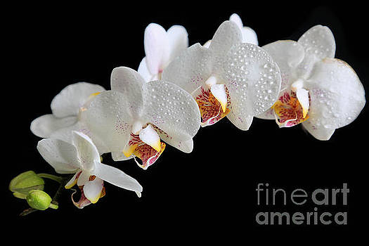 White Orchids by Tracy  Hall