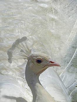 Jeff Brunton - White Peacock 4