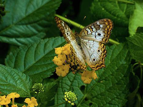 White Peacock Butterfly by Kimo Fernandez