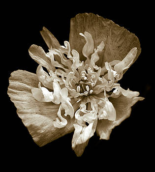 White Peony Flowered Opium Poppy by Frank Tschakert