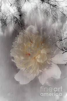 White Peony by Sherman Perry