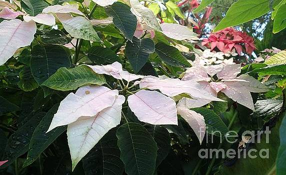White Poinsettias by Anita Adams