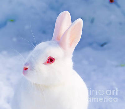 White rabbit in snow by Gry Thunes