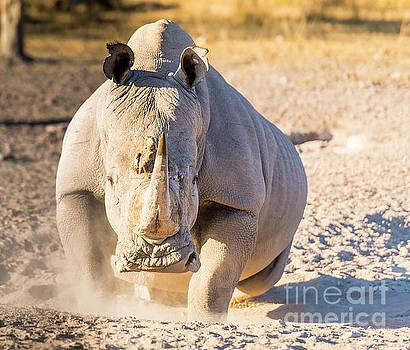 Tim Hester - White Rhino Angry