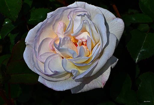 White Rose 011 by George Bostian