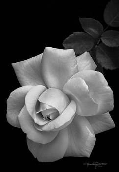 White Rose - Monochrome Version by Karen Casey-Smith