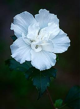 White Rose of Sharon by Paul Wilford