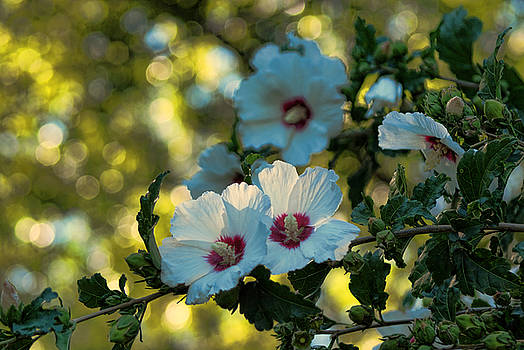 White Rose of Sharon by Rick Friedle