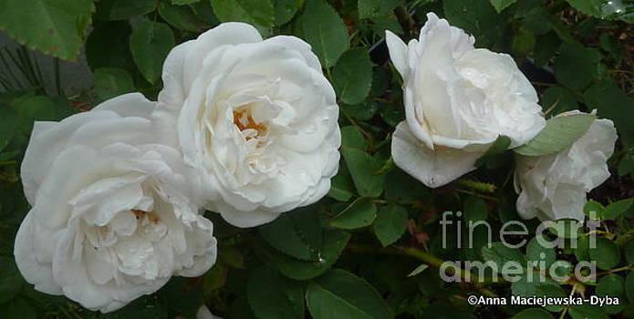 White Roses by Anna Folkartanna Maciejewska-Dyba