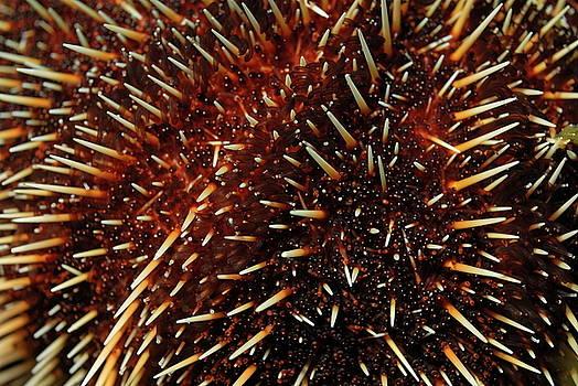 Sami Sarkis - White Sea Urchin