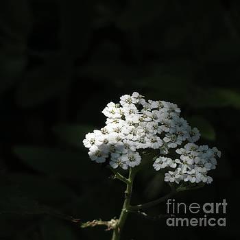 White Summer Blooms by Anita Adams