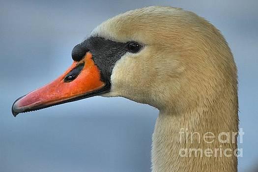 Adam Jewell - White Swan Closeup