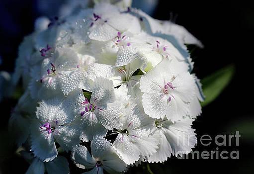 White Sweet William Flower Cluster by Karen Adams