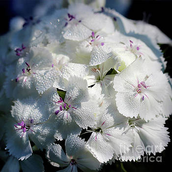 White Sweet William Flower Square by Karen Adams