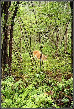 White-tailed Deer in a Misty, Pennsylvania Forest by A Gurmankin