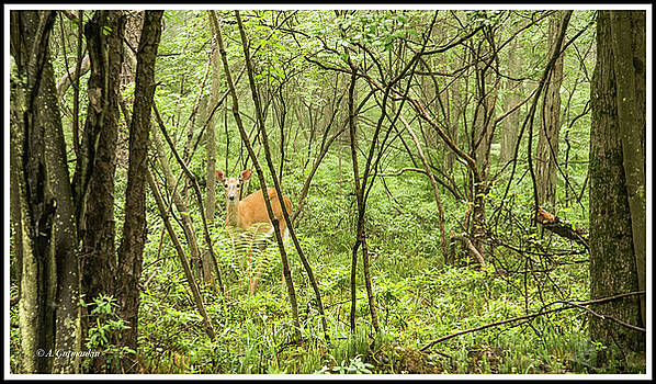 White-tailed Deer in a Pennsylvania Forest by A Gurmankin