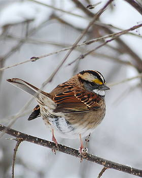 Michael Peychich - White Throated Sparrow 2