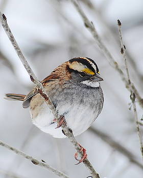 Michael Peychich - White throated Sparrow