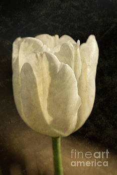 Steve Purnell - White Tulip With Texture