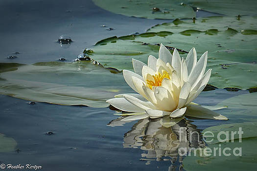 White Water Lily by Heather Kertzer