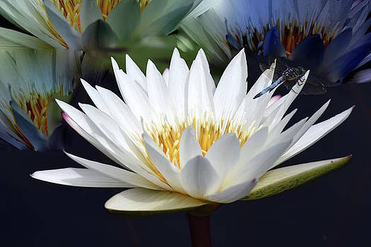 White Water Lily by Jeannie Rhode Photography