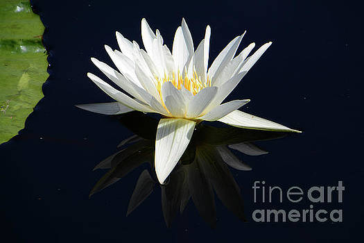 White Water Lily Reflecting by Cindy Manero