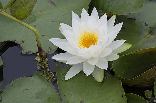 White Waterlily by Linda Geiger