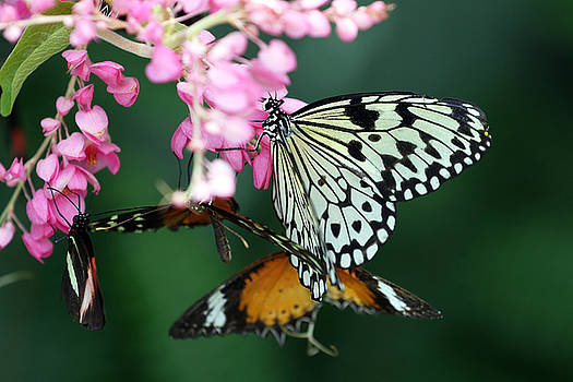 White Winged Butterfly by David Yunker