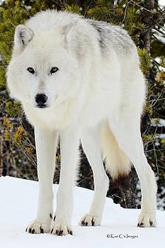 Kae Cheatham - White Wolf