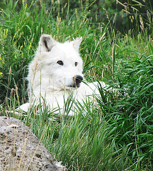 White Wolf of Yellowstone by Martha Ayotte