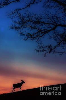 Whitetail at Dawn by Thomas R Fletcher