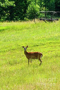 Whitetail Deer and Hay Rake by Thomas R Fletcher