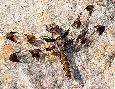 Whitetail Dragonfly on a sunny rock by Jim Hughes