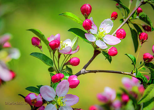 Wild Apple Blossoms  by LeeAnn McLaneGoetz McLaneGoetzStudioLLCcom