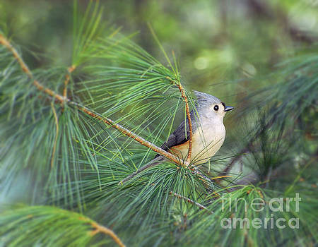 Wild Birds - Tufted Titmouse in the Pines by Kerri Farley