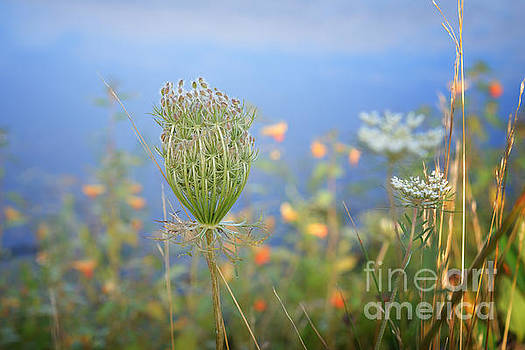 Wild Carrot by Lila Fisher-Wenzel