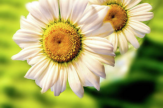 Barry Jones - Wild Daisies Macro