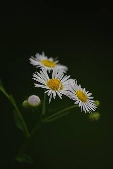 Wild Daisy by Ramona Whiteaker