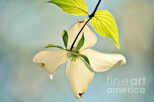 Wild Dogwood Bloom 2 by Kelly Nowak