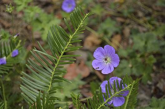 Wild Geranium by Linda Geiger