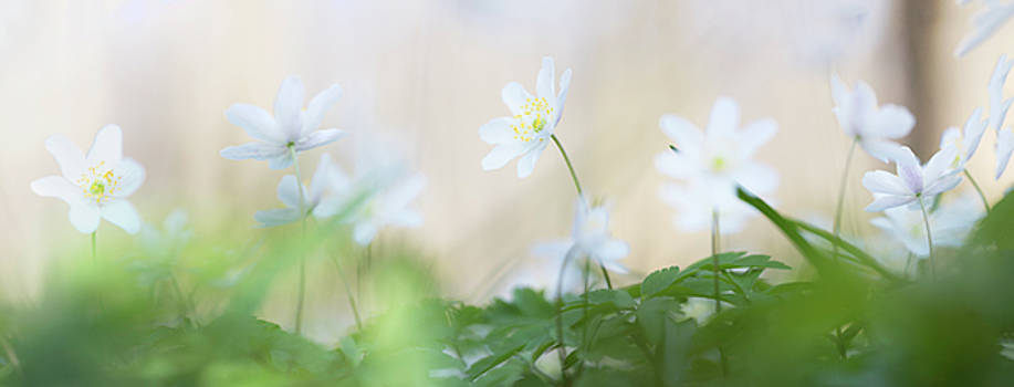 wild flower carpet - Anemone nemerosa by Dirk Ercken