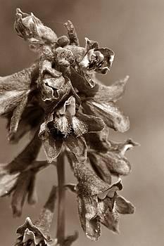 Wild flower in sepia by Mario Brenes Simon