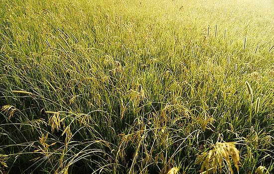 Wild Grasses of Maple Ridge by Daniel Thompson
